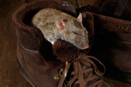 close-up of a rat sleeping in a brown shoe on a wooden floor. The concept of rodent control  in the apartment. Extermination.