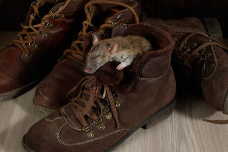 A rat sleeping in a brown shoe on the gray floor. The concept of rodent control  in the apartment. Extermination.