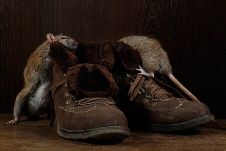 Close-up of two rats and   brown boots on the wooden floors. One rat stands near  of boot. The concept of rodent control  in the apartment. Extermination. Imagens - 147696981