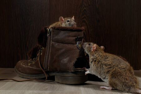 Close-up of two rats and   brown boots on the gray floors. One rat looks out of a ragged boot. The concept of rodent control  in the apartment. Extermination. 版權商用圖片