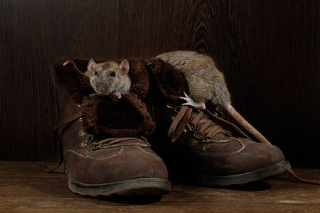 Close-up of two rats and   brown boots on wooden floors. One rat looks out of a boot. The concept of rodent control  in the apartment. Extermination.