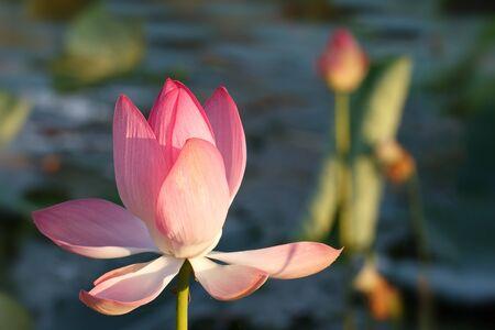 Caspian lotus (Nelumbo nucifera) blossom in Volga delta. Astrakhan region, Caspian sea, Russia 免版税图像