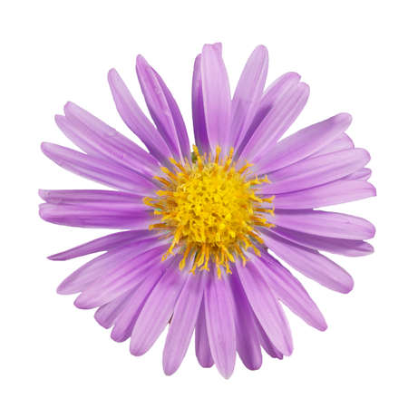 close-up of beautiful purple flower of Michaelmas daisies (botanical name: Aster novi-belgii or Symphyotrichum novi-belgii), also known as New York asters, isolated on white background