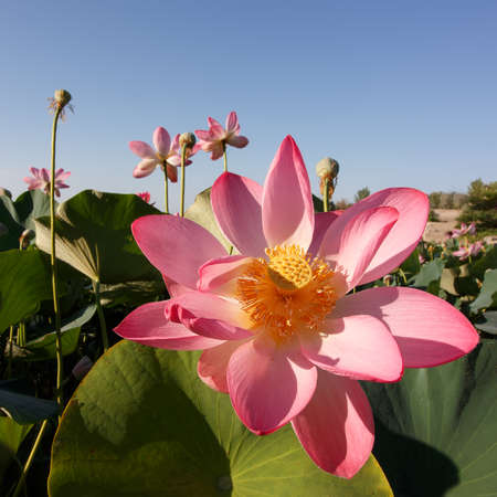 Caspian lotus (Nelumbo caspica) blossom in Volga delta. Astrakhan region, Caspian sea, Russia. Square composition 免版税图像