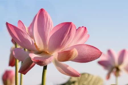 Caspian lotus (Nelumbo caspica) blossom in Volga delta. Astrakhan region, Caspian sea, Russia