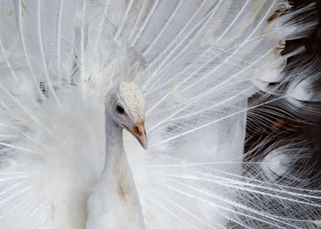 Close-up of beautiful white peacock with spreads its tail