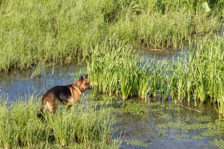 German shepherd dog (East European sheepdog) stands among the reeds near lake and looks into the distance. Concept of border guard service.