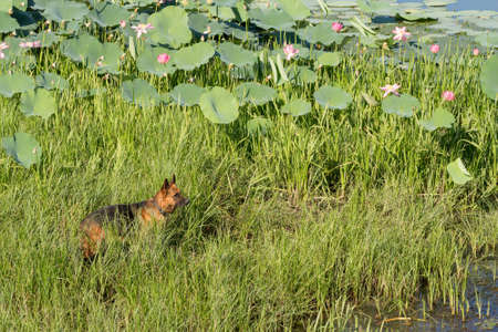 German shepherd dog (East European sheepdog) stands stand among the reeds near Kaspian seaside and looks into the distance. Concept of border guard service.