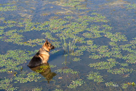 German shepherd dog (East European sheepdog) sits in water of lake and waits owner. Concept of friendship and loyalty. Banque d'images - 152752859
