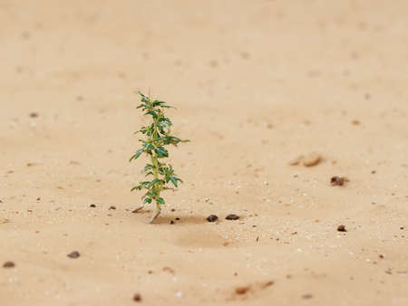Close-up of desert plant (Xanthium spinosum) on sand at cloudy day Imagens