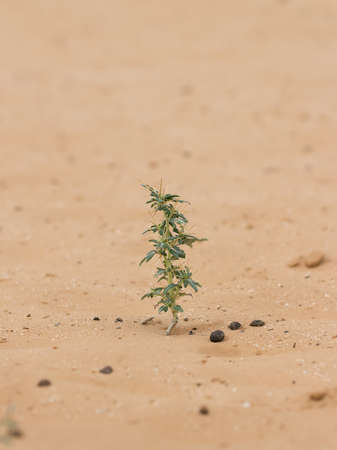 Close-up of desert plant (Xanthium spinosum) on sand at summer day. Vertical composition 版權商用圖片