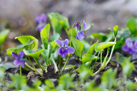 Close-up of purple flowers (Scientific name: Viola odorata, Sweet Violet, English Violet, Common Violet or Garden Violet) blooming in spring in wild meadow. Nature background.