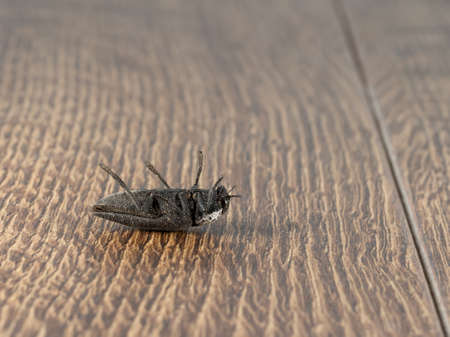 Close-up of dead black beetle (Capnodis tenebrionis) on flooring in house. Pest control concept. Extermination.