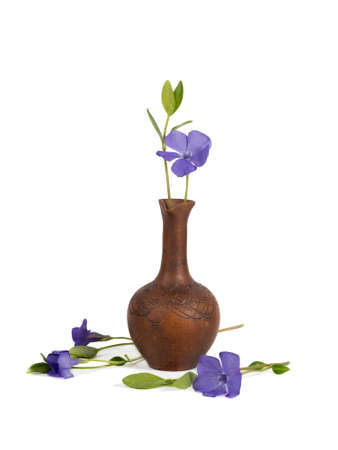 close-up of Lesser periwinkle (Vinca minor) in the clay pitcher isolated on white