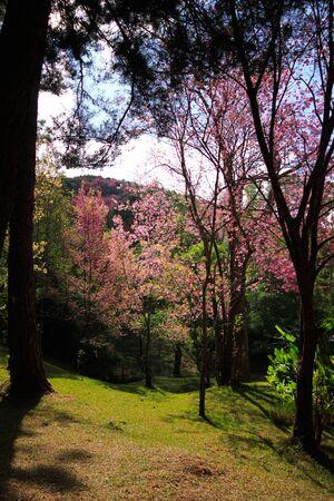 sakura in Thailand