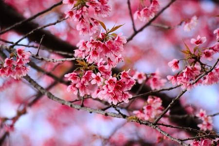 sakura in Thailand2