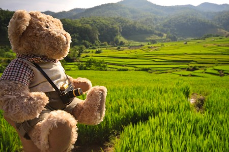 Green rice field and teddy bear