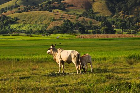 Cow and hill