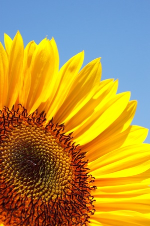 sunflower and sky Stock Photo