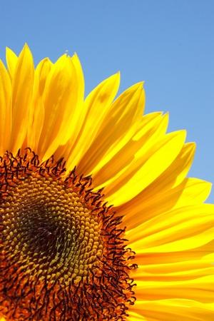 sun flower: sunflower and sky Stock Photo