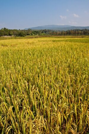 rice field ,ready to harvest 2