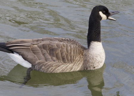 cackling: Cackling goose is screaming Stock Photo