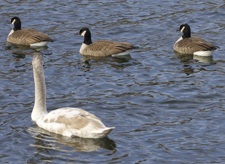 cackling: The mute swan and three cackling geese Stock Photo