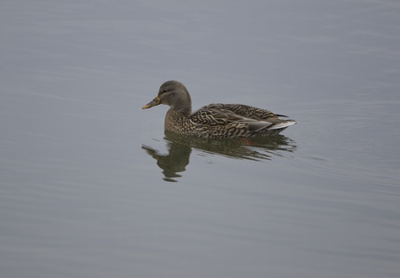 speckle: The mallard female is swimming somewhere