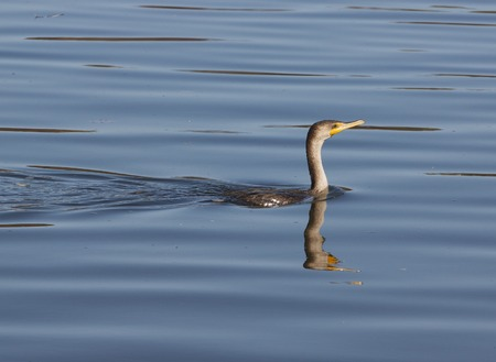 webbed foot: The solely cormorant
