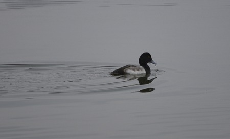 scaup: The greater scaup after diving Stock Photo