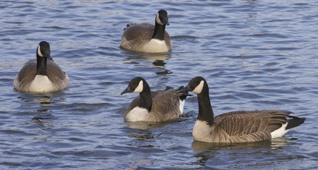 cackling: Cackling geese