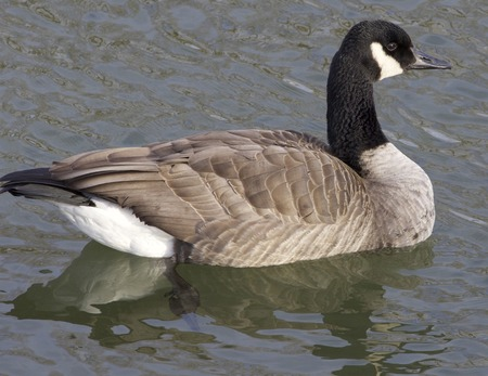 cackling: The cackling goose is swimming away