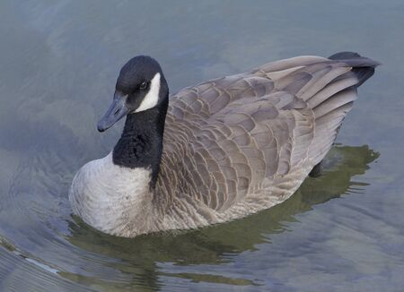 cackling: The cackling goose is coming