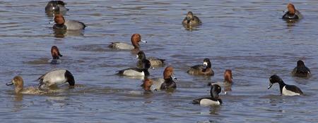 rush: The ducks rush Stock Photo