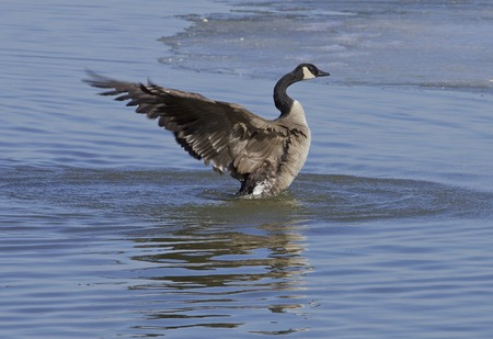 cackling: The cackling goose power