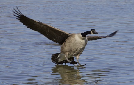 cackling: The landing cackling goose