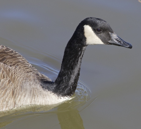 cackling: The thoughtful cackling goose Stock Photo