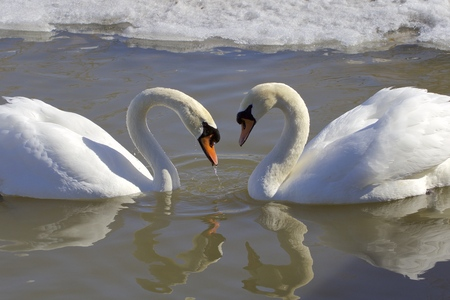 The mute swans in love. The heart shape photo