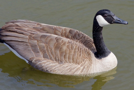cackling: Beautiful closeup of a calm cackling goose Stock Photo