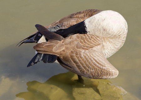 hide and seek: Hide and seek. The funny cackling goose pose