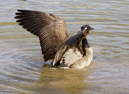 cackling: Beautiful wings of a cackling goose Stock Photo