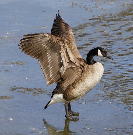 cackling: The cackling goose closeup