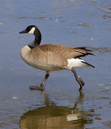 cackling: The confident walk of a cackling goose