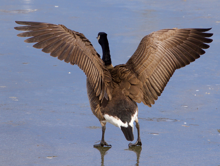spread legs: The strong beautiful wings of a cackling goose