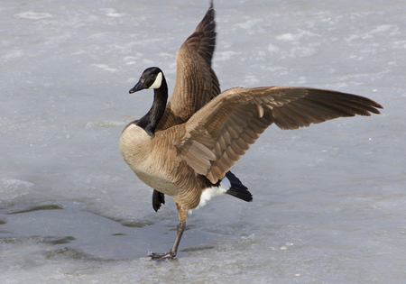 cackling: The beautiful jump of a cackling goose Stock Photo