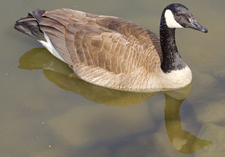 cackling: Beautiful cackling goose is swimming in the calm water of the lake Stock Photo