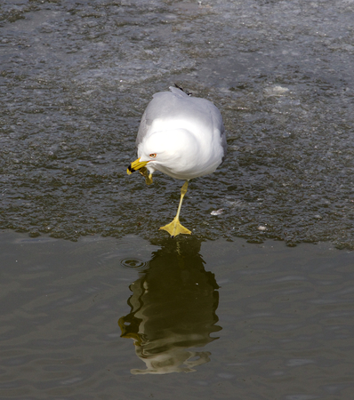 staying: The thoughtful gull is staying on one feet near the water