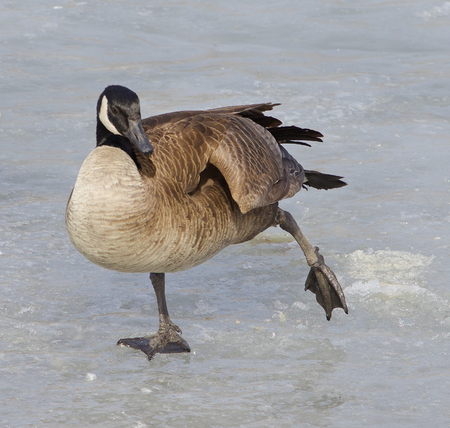cackling: The cackling goose is skating on the ice Stock Photo