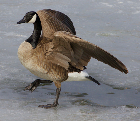 cackling: Cackling goose is making a step on the ice Stock Photo