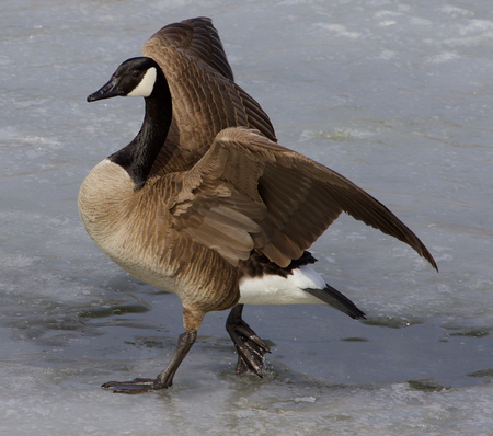 cackling: Noble cackling goose is walking on the ice
